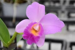 wre14159-B / Orchideen-Blüte am Tag der offenen Tür bei Meyer Orchideen AG
