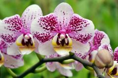 wre14160-B / Orchideen-Blüte am Tag der offenen Tür bei Meyer Orchideen AG
