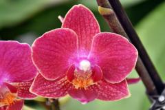 wre14167-B / Orchideen-Blüte am Tag der offenen Tür bei Meyer Orchideen AG
