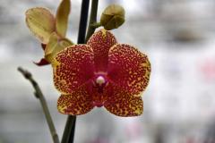 wre14170-B / Orchideen-Blüte am Tag der offenen Tür bei Meyer Orchideen AG