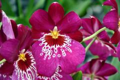 wre14172-B / Orchideen-Blüte am Tag der offenen Tür bei Meyer Orchideen AG