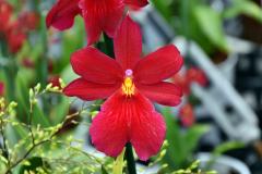 wre14175-B / Orchideen-Blüte am Tag der offenen Tür bei Meyer Orchideen AG