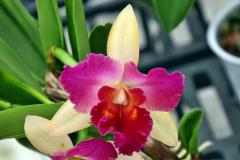 wre14177-B / Orchideen-Blüte am Tag der offenen Tür bei Meyer Orchideen AG