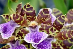 wre14183-B / Orchideen-Blüte am Tag der offenen Tür bei Meyer Orchideen AG