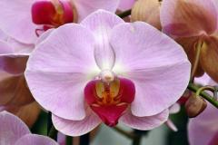 wre14195-B / Orchideen-Blüte am Tag der offenen Tür bei Meyer Orchideen AG