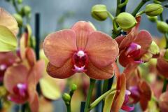 wre14220-B / Orchideen-Blüte am Tag der offenen Tür bei Meyer Orchideen AG