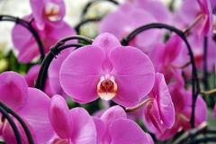 wre14223-B / Orchideen-Blüte am Tag der offenen Tür bei Meyer Orchideen AG