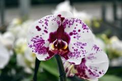 wre14225-B / Orchideen-Blüte am Tag der offenen Tür bei Meyer Orchideen AG