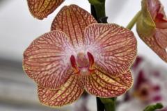wre14232-B / Orchideen-Blüte am Tag der offenen Tür bei Meyer Orchideen AG
