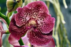 wre14258-B / Orchideen-Blüte am Tag der offenen Tür bei Meyer Orchideen AG